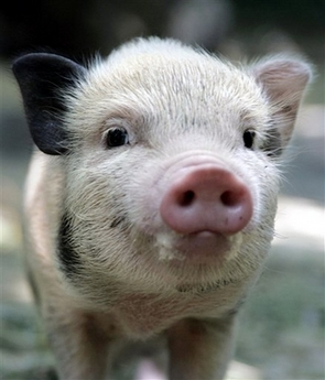 pig humor,pig jokes,animal humor