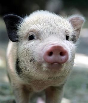 pig humor,pig jokes,animal humor